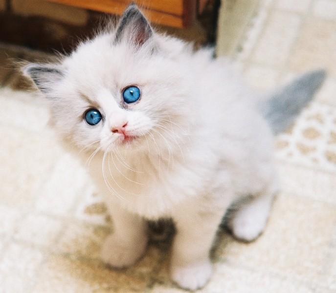 Imagini Cu Pisici Topul Celor Mai Frumoase Rase De