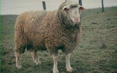 poze cu oi