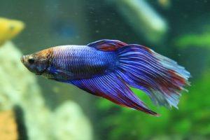 cei mai usor de intretinut pesti de acvariu