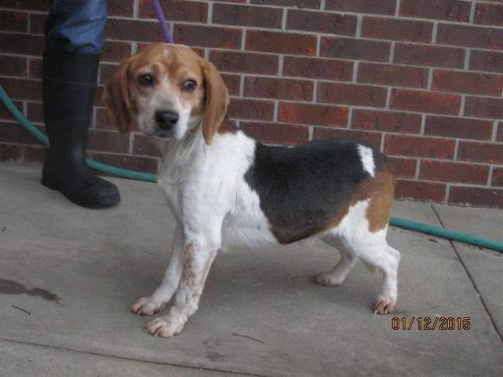 Meghan Markle beagle 1