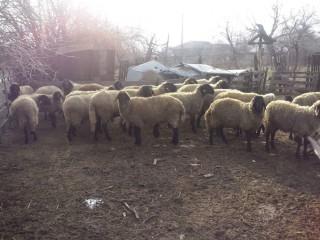 Vând oi tigaie
