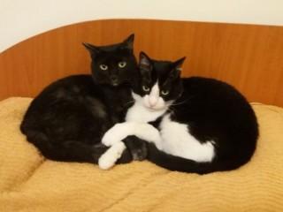 Donez doua pisici adorabile, rasa europeana