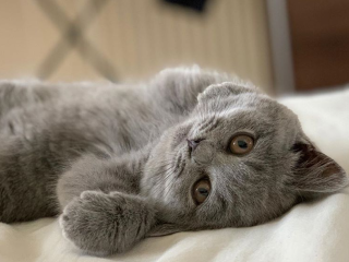 Pui British Shorthair Blue