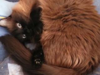 Donez pisica birmaneza