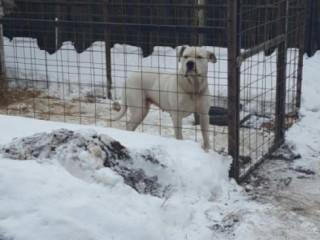 Vând femela dog argentinian