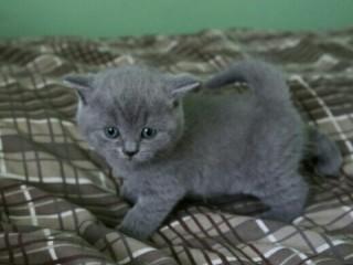 Pisicute british blue