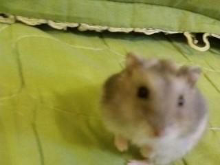 Vand hamsteri pitici