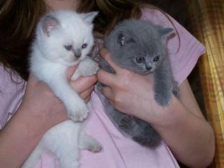 Pisici British shorthair blue rasă pură