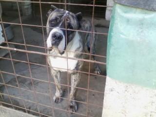 Ofer spre monta Mascul Presa Canario / Dogo Canario cu pedigree