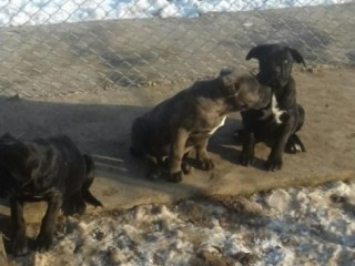 Vând pui cane corso cu pedigree tip A